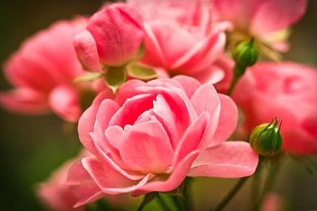 tõusis, lill, roosa roos, õis, Bloom, roos õitseb, loodus