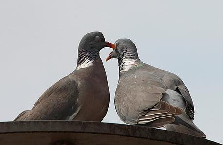 kyyhkyt, Kyyhkyt ja kyyhkyset, Pigeon linnut, columbiformes, Turturikyyhky, Pigeon pari, Kuiskaa rakkaudentunnustuksia