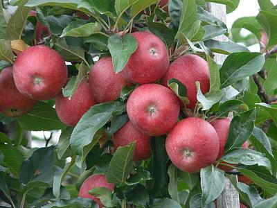 яблоко, спелый, красный, Яблоневый сад, Яблоня, фрукты, урожай