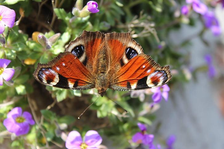 Peacock butterfly, tauriņš, izplatīšanos, spārnu, puķe, aizveriet, Pavasaris