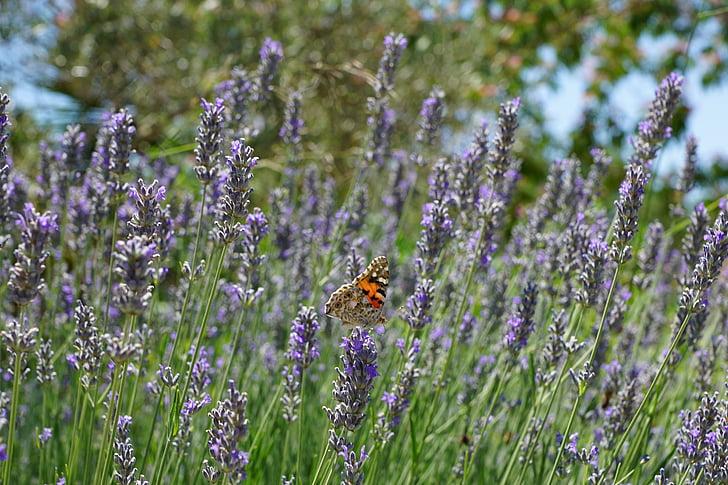 lavendel, vlinder, plant, natuur, bloem, paars, zomer