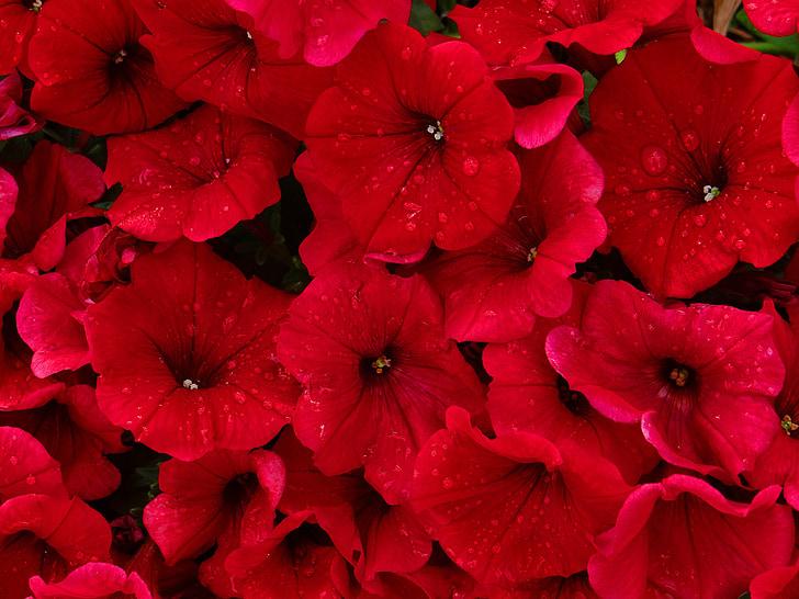 สีแดง, petunias, ฝน, ดอกไม้, ธรรมชาติ, ความสวยงาม