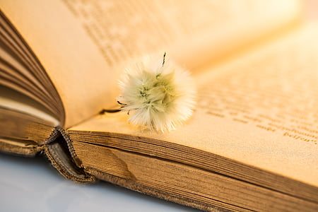 old book, small dandelion, faded, on the pages of a book lying, open book, old, book