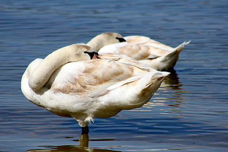 animal, bird, swans, lake, nature, wildlife, pond