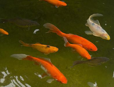 Vrtni ribnjak, Zlatna ribica, riba, vode, Crveni, bijeli, Crna