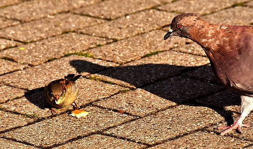 град гълъб, врабче, фураж, гълъб, птица, перо, природата