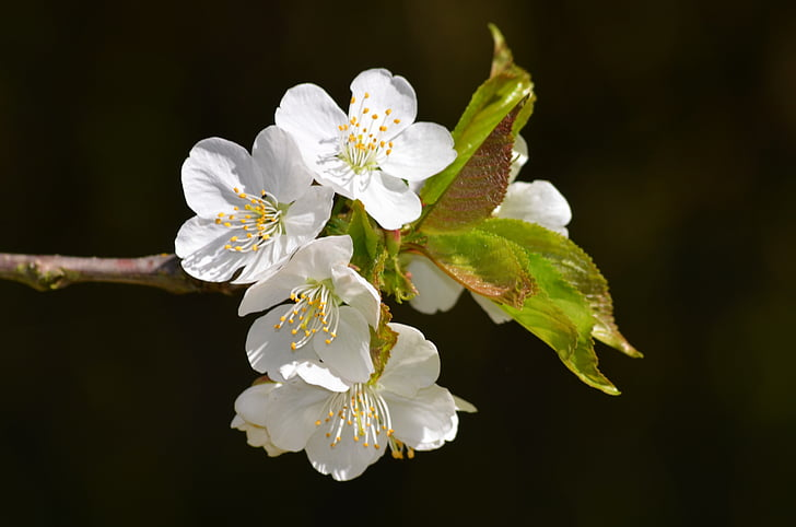 blossom, bloom, summer, apple blossom, spring