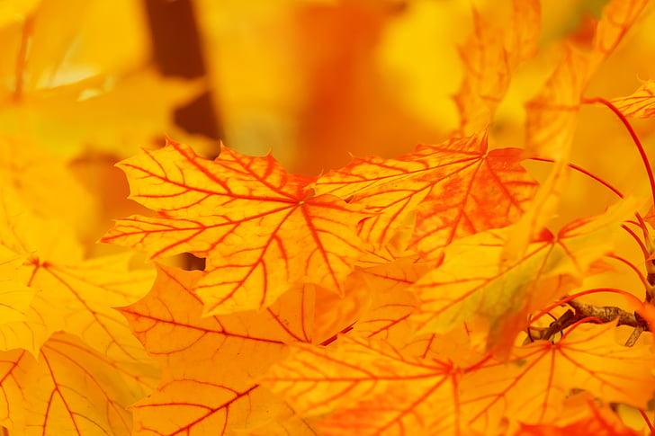 kopsavilkums, rudens, fons, gaiša, krāsa, kritums, Leaf