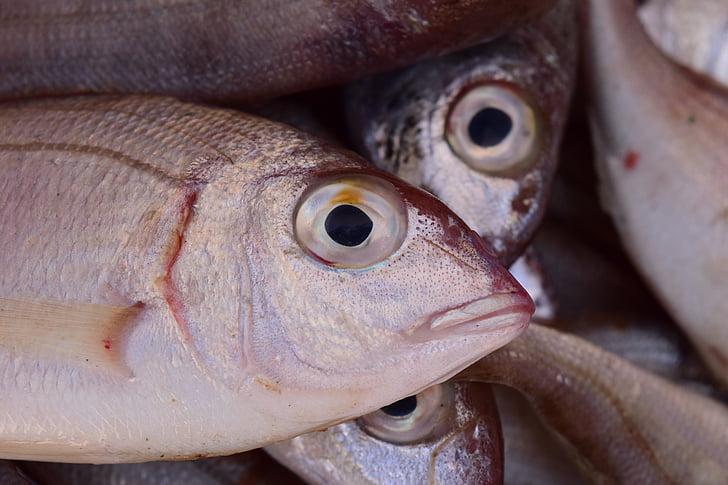 fish, mediterranean, salzwasserfisch, small, small fish, fish  head, close   Hippopx eyevolls