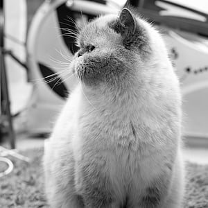 persian cat, persians, cat, pet, pride, mieze, portrait