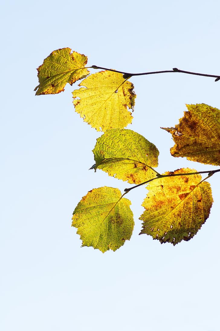 hazel leaves, hazel branch, fall leaves, autumn, discolored, brown, green