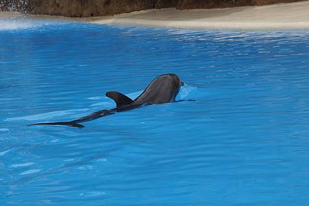 ปลาโลมา, ว่ายน้ำ, ปลาโลมา, เลี้ยงลูกด้วยนมทางทะเล, meeresbewohner, สัตว์, สิ่งมีชีวิตในน้ำ