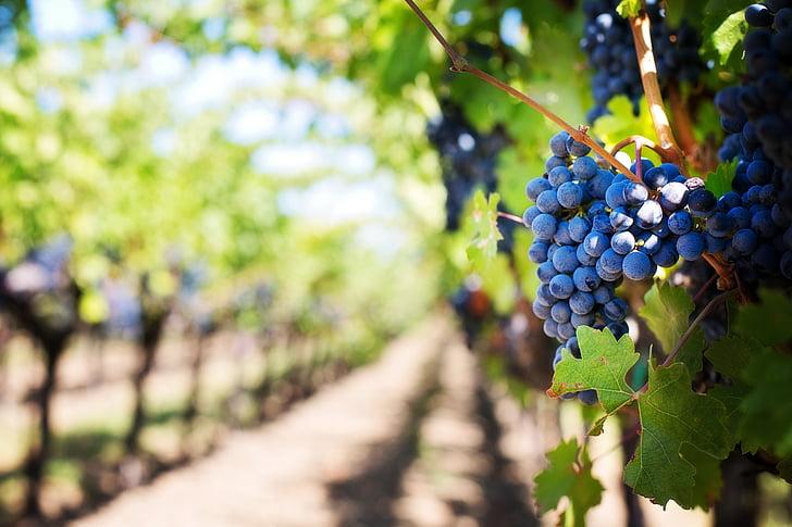 purple grapes, vineyard, napa valley, napa vineyard, grapes, vine, grapevines