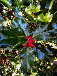 Holly, rastlín, bobule, Zelená, Brčál, okrasná rastlina, Vianočné dekorácie