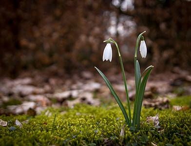 Visibaba, pomlad, snowdrops, cvetje, gozdnih tleh, naravne, spomladi rastline