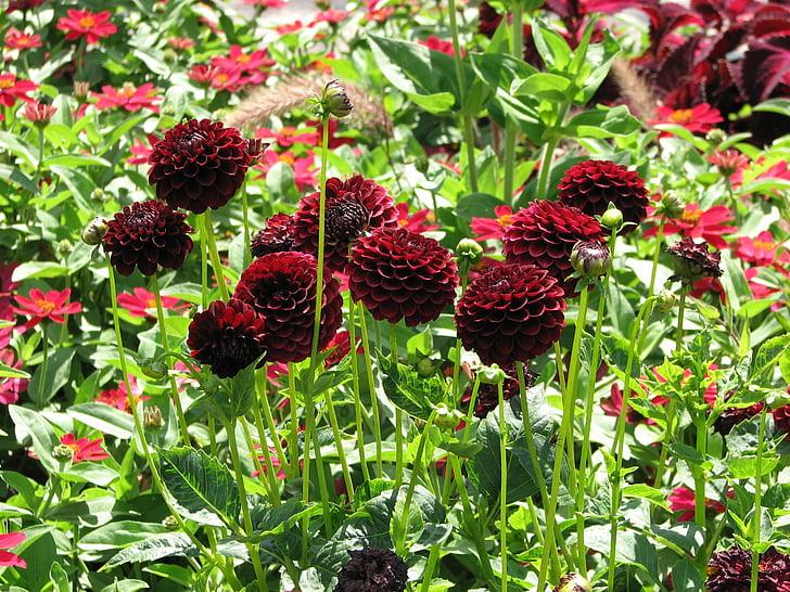 Dàlies, flors, vermell, flor, flor, jardí