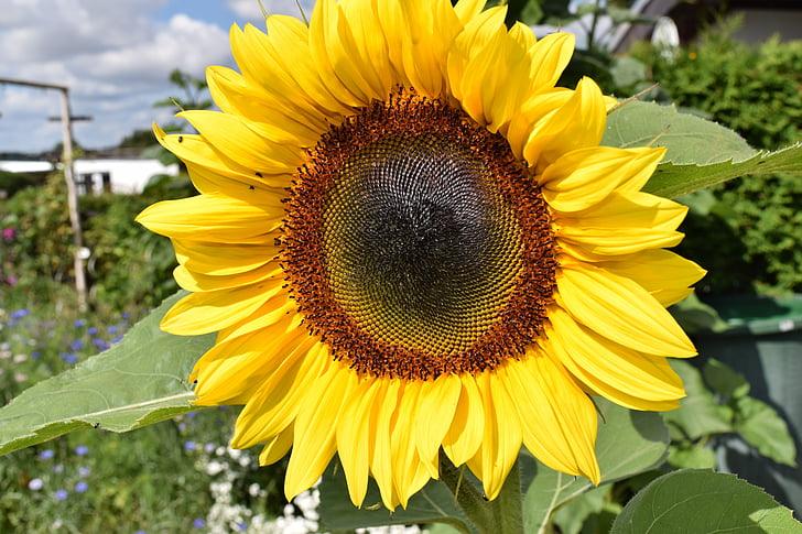 Sun flower, taim, Aed, lilled, kollane lill, kollane