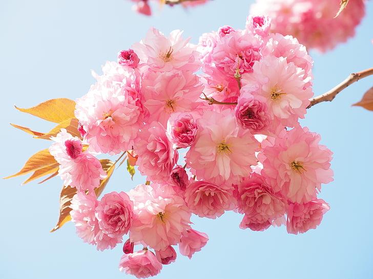 kirsi õis, Jaapani kirss, lõhn, õis, Bloom, Jaapani õitsemise kirss, Dekoratiivne kirss
