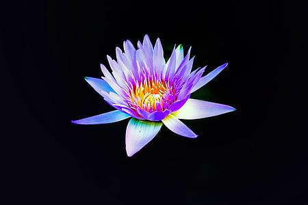 lilla, grafitmine, blomst, blomster, vand, vandes, blomst blomst