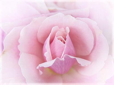 Rosa, Rosa, macro, tancar, flor, flor, planta