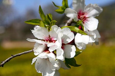 almond tree, flower, field
