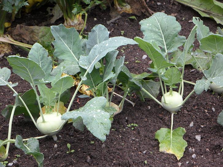 kohlrabi, bed, vegetable patch, vegetables, cultivation, gardeners, garden