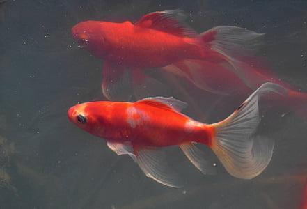 spring, awakening, fish, animal, goldfish, underwater, nature