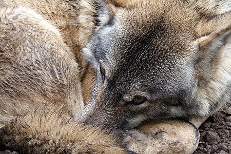 wolf, eye, fur, wild, animal, wildlife, nature