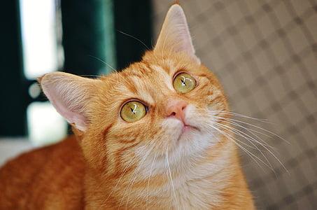 cat, red, cute, mackerel, tiger, sweet, cuddly