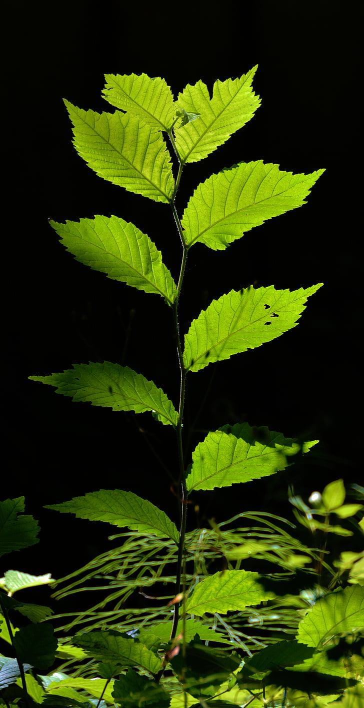 fulles, jove va conduir, bosc, torna la llum, arbre jove, noves unitats, verd clar