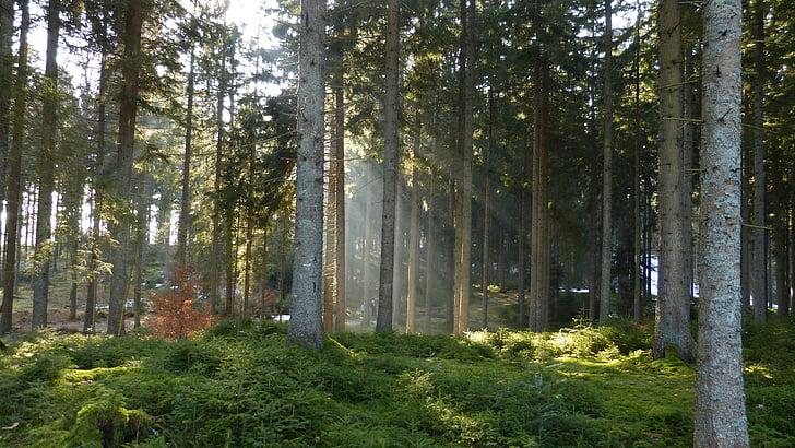 bos, natuur, mist, stemming, ochtend