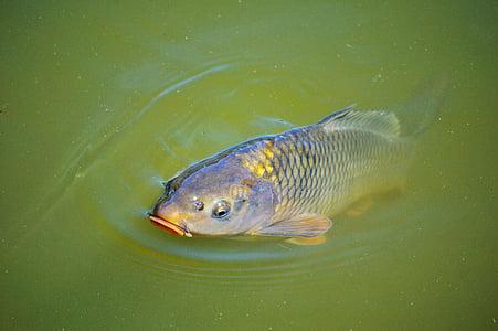 šaran, riba, pojavljuju se, plivati, ribnjak, vode, vodene površine