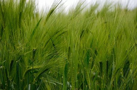 barley, cereals, barley field, grain, field, nature, green