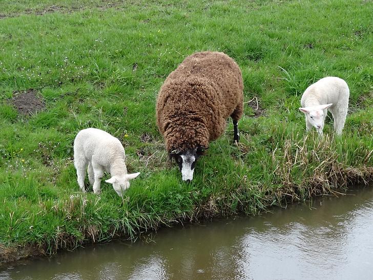 thịt cừu, đàn cừu, con cừu, mùa xuân, Thiên nhiên, động vật, động vật có vú
