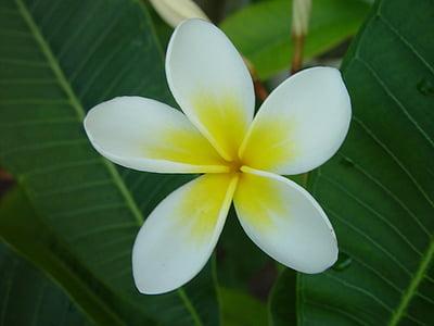 꽃, 꽃, 블 룸, 프 르 메리 아, 꽃잎, 하얀, 노란색
