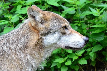 wolf, predator, close, pack animal, animal, wolf head, nature
