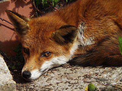 Fuchs, Tier, Tierwelt, rotes Fell, Rotfuchs, Säugetier, Natur