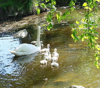 mother swan, cygnets, spring, animal, nature, baby swans