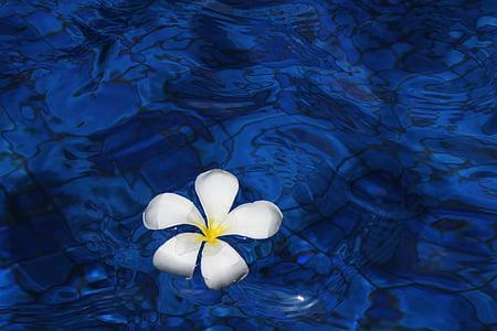 blomst, vann, våren, anlegget, Plumeria, blomster, Bali