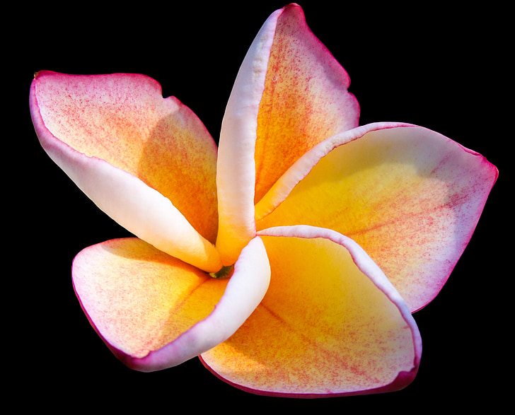 frangipandi, Blossom, Bloom, fleurs ornementales, fleur, Rose, jaune