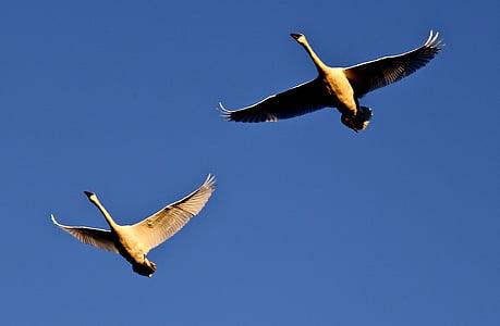 trumpetisti joutsen, Flying, Wild, Linnut, vesilinnut, Wildlife, Luonto