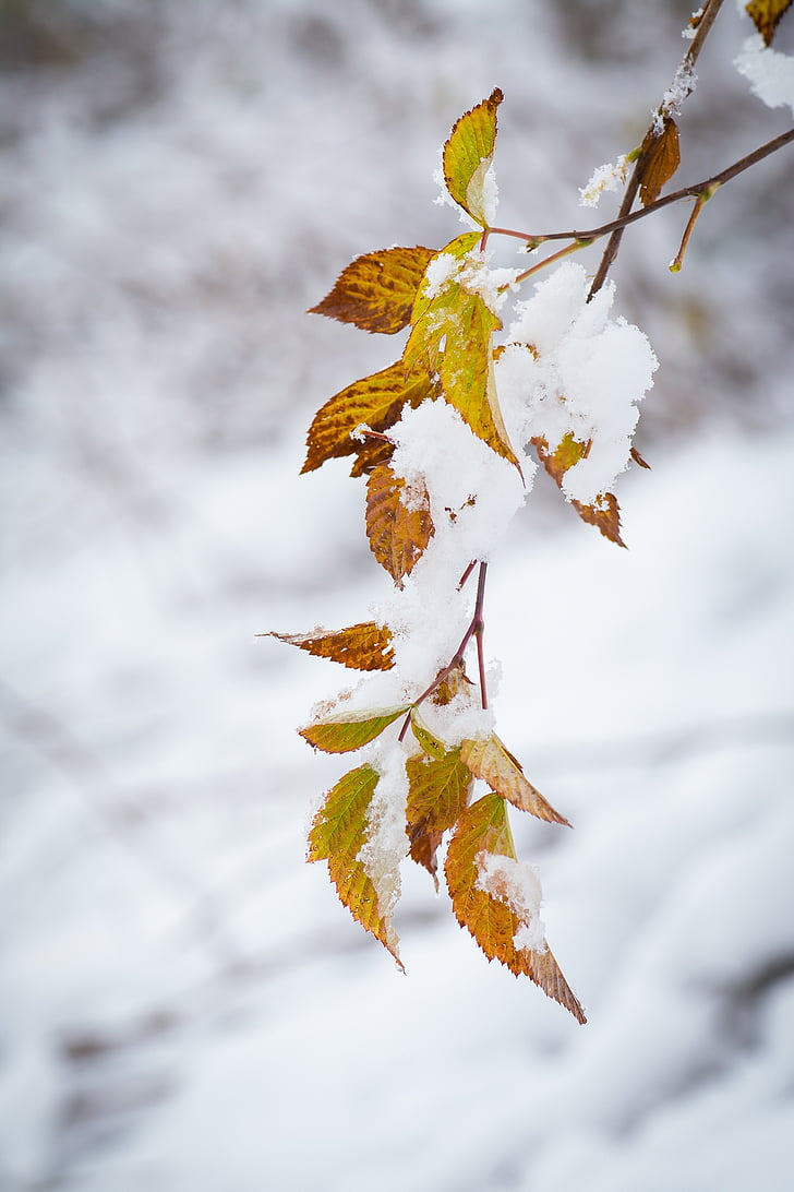 winter, snow, wintry, snowy, leaves, branch, nature
