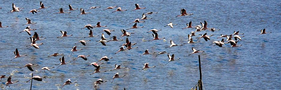 flamingi, ptaki, Indie, stado, pływające, uciekają, wody