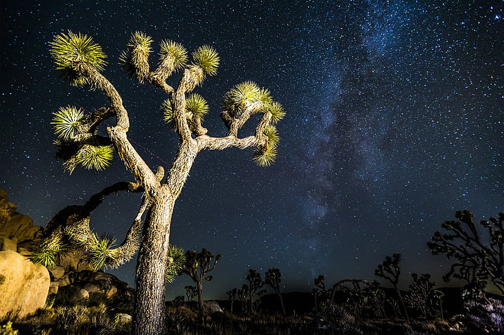 Joshua tree, mikly moyen, étoiles, désert, Sky, nuit, galaxie