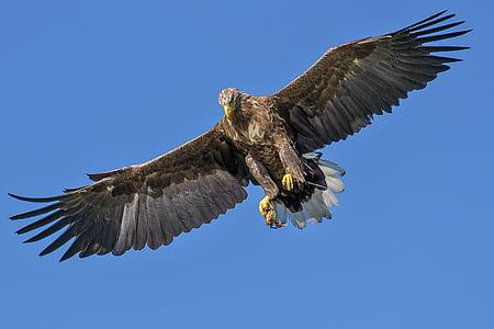 Eagle, uccello, uccello della preda, costoso, naturale, uccello d'attacco, artigli di uccello