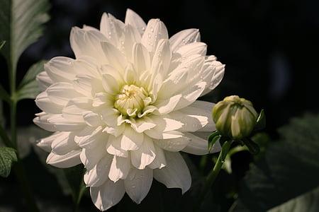 dàlia, blanc, flor, flor, flor, jardí de dàlia, jardí de flors