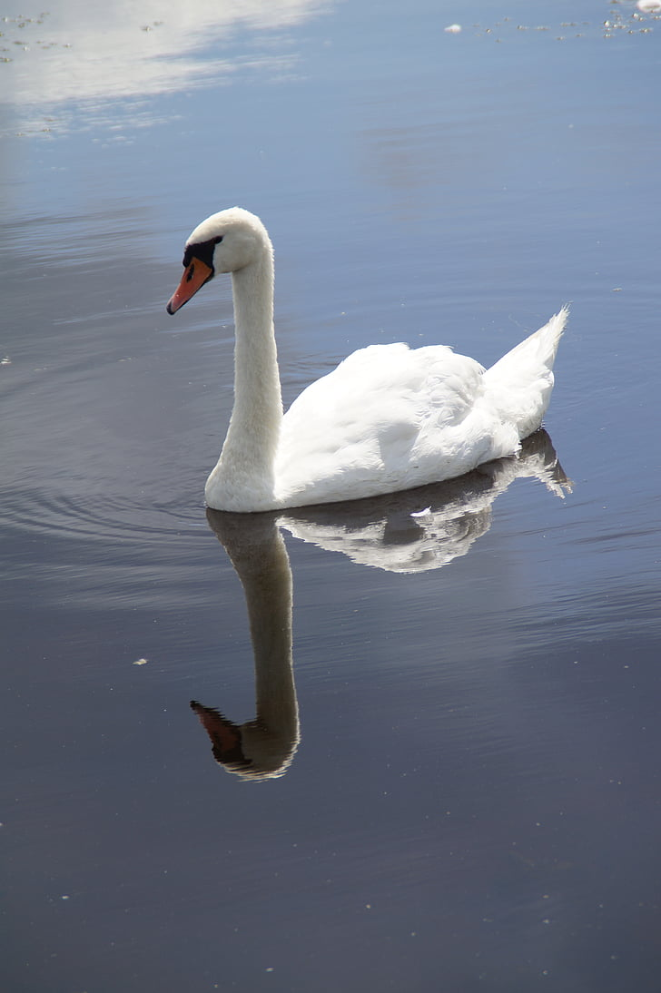 Cisne, Cisne-branco, ave aquática, nadar, espelhamento, espelhados, água
