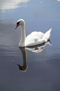 swan, mute swan, water bird, swim, mirroring, mirrored, water