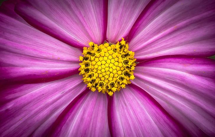 cosmos, plantes, flors, porpra, jardí, bonica, natura