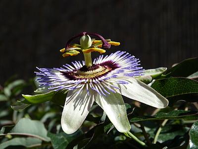 Passiflora, flor, flor de la passió, vinyes de passió, flor, porpra, floral
